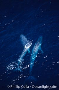 Blue whale mother and calf,  Baja California (Mexico), Balaenoptera musculus