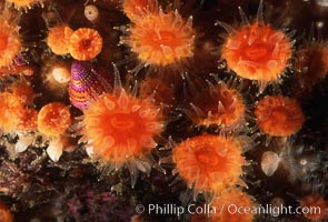Orange cup coral. Monterey, California, USA, Balanophyllia elegans, natural history stock photograph, photo id 02559