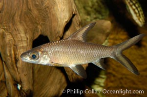 Bala shark, a freshwater fish native to the rivers of Thailand, Borneo and Sumatra, grows to about 14 inches long., Balantiocheilus melanopterus, natural history stock photograph, photo id 09323