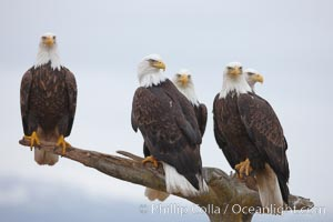 Five bald eagles stand together on wooden perch, Haliaeetus leucocephalus, Haliaeetus leucocephalus washingtoniensis, Kachemak Bay, Homer, Alaska