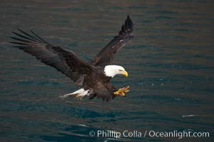 Bald eagle in flight spreads its wings and raises its talons as it prepares to grasp a fish out of the water. Kenai Peninsula, Alaska, USA, Haliaeetus leucocephalus, Haliaeetus leucocephalus washingtoniensis, natural history stock photograph, photo id 22593