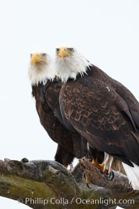 Two bald eagles on wooden perch. Kachemak Bay, Homer, Alaska, USA, Haliaeetus leucocephalus, Haliaeetus leucocephalus washingtoniensis, natural history stock photograph, photo id 22597