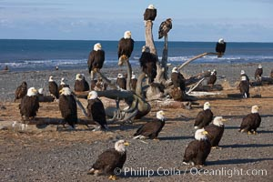 "30 bald eagles, part of a group of several hundred, perch on driftwood and stand on the ground waiting to be fed frozen herring as part of the Homer ""Eagle Lady's"" winter eagle feeding program, Haliaeetus leucocephalus, Haliaeetus leucocephalus washingtoniensis, Kachemak Bay"