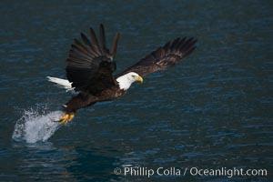 Bald eagle makes a splash while in flight as it takes a fish out of the water. Kenai Peninsula, Alaska, USA, Haliaeetus leucocephalus, Haliaeetus leucocephalus washingtoniensis, natural history stock photograph, photo id 22616