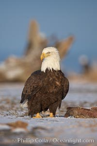 Bald eagle, standing on snow-covered ground, other bald eagles in the background. Kachemak Bay, Homer, Alaska, USA, Haliaeetus leucocephalus, Haliaeetus leucocephalus washingtoniensis, natural history stock photograph, photo id 22657