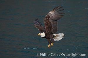 Bald eagle in flight over water, wings raised, talons hanging, Haliaeetus leucocephalus, Haliaeetus leucocephalus washingtoniensis, Kenai Peninsula, Alaska