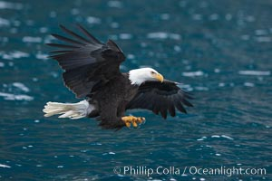 Bald eagle in flight spreads its wings and raises its talons as it prepares to grasp a fish out of the water, Haliaeetus leucocephalus, Haliaeetus leucocephalus washingtoniensis, Kenai Peninsula, Alaska