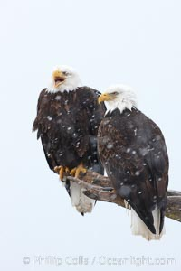 Two bald eagles on wooden perch, one calling vocalizing with beack open, Haliaeetus leucocephalus, Haliaeetus leucocephalus washingtoniensis, Kachemak Bay, Homer, Alaska