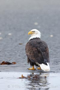 Bald eagle on tide flats, forages in tide waters on sand beach, snow falling, Haliaeetus leucocephalus, Haliaeetus leucocephalus washingtoniensis, Kachemak Bay, Homer, Alaska