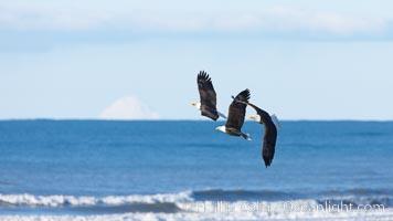 Three bald eagles, in flight over Kachemak Bay, Haliaeetus leucocephalus, Haliaeetus leucocephalus washingtoniensis, Homer, Alaska
