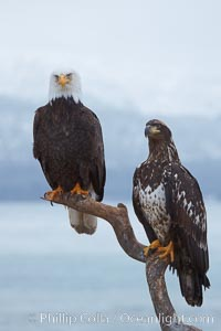 Bald eagle, atop wooden perch, overcast and snowy skies.  Adult (left) and subadult (right), Haliaeetus leucocephalus, Haliaeetus leucocephalus washingtoniensis, Kachemak Bay, Homer, Alaska