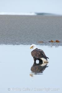 Bald eagle forages on sand, in tide waters on sand beach, snow falling, Haliaeetus leucocephalus, Haliaeetus leucocephalus washingtoniensis, Kachemak Bay, Homer, Alaska