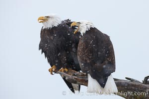 Two bald eagles share a wood perch, Haliaeetus leucocephalus, Haliaeetus leucocephalus washingtoniensis, Kachemak Bay, Homer, Alaska