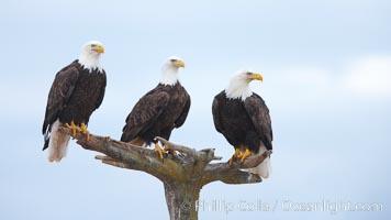Bald eagles gather together on wooden perch, Haliaeetus leucocephalus, Haliaeetus leucocephalus washingtoniensis, Kachemak Bay, Homer, Alaska