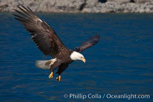 Bald eagle, flying low over the water, Haliaeetus leucocephalus, Haliaeetus leucocephalus washingtoniensis, Kenai Peninsula, Alaska