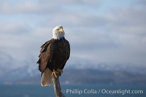 Bald eagle, on perch at sunrise, Kenai Mountains and Kachemak Bay in the background, Haliaeetus leucocephalus, Haliaeetus leucocephalus washingtoniensis, Homer, Alaska