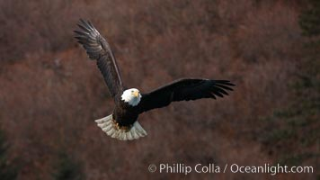 Bald eagle, wings outstretched, red foliage background, Haliaeetus leucocephalus, Haliaeetus leucocephalus washingtoniensis, Kenai Peninsula, Alaska
