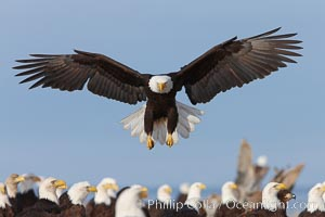 Bald eagle spreads its wings to land amid a large group of bald eagles. Kachemak Bay, Homer, Alaska, USA, Haliaeetus leucocephalus, Haliaeetus leucocephalus washingtoniensis, natural history stock photograph, photo id 22588