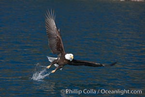 Bald eagle makes a splash while in flight as it takes a fish out of the water. Kenai Peninsula, Alaska, USA, Haliaeetus leucocephalus, Haliaeetus leucocephalus washingtoniensis, natural history stock photograph, photo id 22709