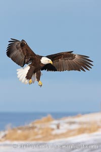 Bald eagle in flight over snow-dusted beach, Kachemak Bay. Kachemak Bay, Homer, Alaska, USA, Haliaeetus leucocephalus, Haliaeetus leucocephalus washingtoniensis, natural history stock photograph, photo id 22711