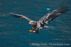 Bald eagle, flying low over the water, Haliaeetus leucocephalus, Haliaeetus leucocephalus washingtoniensis, Kenai Peninsula, Alaska