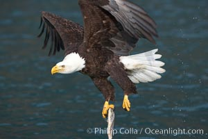 Bald eagle carrying a fish, it has just plucked out of the water, Haliaeetus leucocephalus, Haliaeetus leucocephalus washingtoniensis, Kenai Peninsula, Alaska