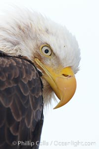 Bald eagle, closeup of head and shoulders showing distinctive white head feathers, yellow beak and brown body and wings, Haliaeetus leucocephalus, Haliaeetus leucocephalus washingtoniensis, Kachemak Bay, Homer, Alaska