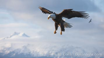 Bald eagle in flight, sidelit, cloudy sky and Kenai Mountains in the background. Kachemak Bay, Homer, Alaska, USA, Haliaeetus leucocephalus, Haliaeetus leucocephalus washingtoniensis, natural history stock photograph, photo id 22596