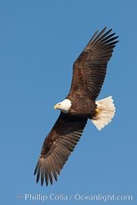 Bald eagle in flight, wing spread, soaring. Kachemak Bay, Homer, Alaska, USA, Haliaeetus leucocephalus, Haliaeetus leucocephalus washingtoniensis, natural history stock photograph, photo id 22604
