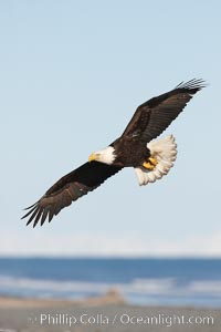 Bald eagle in flight, banking over Kachemak Bay and beach, Haliaeetus leucocephalus, Haliaeetus leucocephalus washingtoniensis, Homer, Alaska