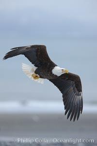 Bald eagle in flight, banking, wings spread, above  beach and Kachemak Bay in background, Haliaeetus leucocephalus, Haliaeetus leucocephalus washingtoniensis, Homer, Alaska