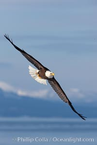 Bald eagle in flight, Kachemak Bay and the Kenai Mountains in the background. Homer, Alaska, USA, Haliaeetus leucocephalus, Haliaeetus leucocephalus washingtoniensis, natural history stock photograph, photo id 22664