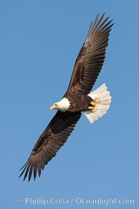 Bald eagle in flight, wing spread, soaring. Kachemak Bay, Homer, Alaska, USA, Haliaeetus leucocephalus, Haliaeetus leucocephalus washingtoniensis, natural history stock photograph, photo id 22682