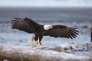 Bald eagle in flight, snow covered beach and Kachemak Bay in background, Haliaeetus leucocephalus, Haliaeetus leucocephalus washingtoniensis, Homer, Alaska