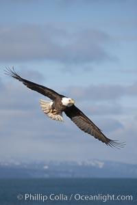 Bald eagle in flight, banking over Kachemak Bay, Haliaeetus leucocephalus, Haliaeetus leucocephalus washingtoniensis, Homer, Alaska