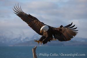 Bald eagle in flight, spreads its wings wide to slow before landing on a wooden perch, Haliaeetus leucocephalus, Haliaeetus leucocephalus washingtoniensis, Kachemak Bay, Homer, Alaska