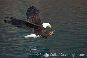 Bald eagle in flight, spreads its wings and raises its talons as it prepares to grasp a fish out of the water, Haliaeetus leucocephalus, Haliaeetus leucocephalus washingtoniensis, Kenai Peninsula, Alaska
