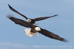 Two bald eagles in flight, wings spread, soaring, aloft. Kachemak Bay, Homer, Alaska, USA, Haliaeetus leucocephalus, Haliaeetus leucocephalus washingtoniensis, natural history stock photograph, photo id 22590