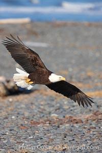 Bald eagle flies over cobblestone beach, Haliaeetus leucocephalus, Haliaeetus leucocephalus washingtoniensis, Kachemak Bay, Homer, Alaska