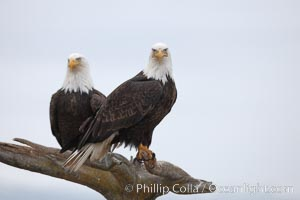 Two bald eagles on wooden perch, Haliaeetus leucocephalus, Haliaeetus leucocephalus washingtoniensis, Kachemak Bay, Homer, Alaska