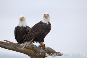Two bald eagles on wooden perch. Kachemak Bay, Homer, Alaska, USA, Haliaeetus leucocephalus, Haliaeetus leucocephalus washingtoniensis, natural history stock photograph, photo id 22618