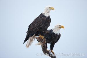 Two bald eagles on wooden perch, Haliaeetus leucocephalus, Haliaeetus leucocephalus washingtoniensis, Kachemak Bay, Homer, Alaska
