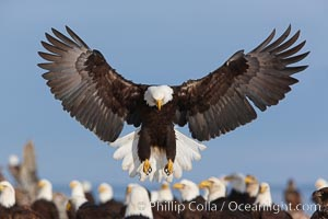 Bald eagle spreads its wings to land amid a large group of bald eagles. Kachemak Bay, Homer, Alaska, USA, Haliaeetus leucocephalus, Haliaeetus leucocephalus washingtoniensis, natural history stock photograph, photo id 22681