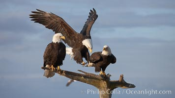 Bald eagle in flight spreads its wings wide while slowing to land on a perch already occupied by other eagles. Kachemak Bay, Homer, Alaska, USA, Haliaeetus leucocephalus, Haliaeetus leucocephalus washingtoniensis, natural history stock photograph, photo id 22690