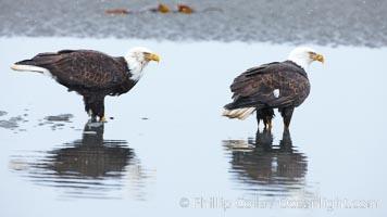 Bald eagle forages in tide waters on sand beach, snow falling, Haliaeetus leucocephalus, Haliaeetus leucocephalus washingtoniensis, Kachemak Bay, Homer, Alaska