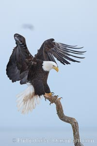 Bald eagle spreads its wings as it balances on wooden perch, Haliaeetus leucocephalus, Haliaeetus leucocephalus washingtoniensis, Kachemak Bay, Homer, Alaska