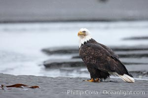 Bald eagle forages on sand, in tide waters on sand beach, snow falling, Haliaeetus leucocephalus, Haliaeetus leucocephalus washingtoniensis, Kachemak Bay, Homer, Alaska