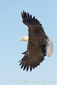 Bald eagle in flight, wing spread, soaring, Haliaeetus leucocephalus, Haliaeetus leucocephalus washingtoniensis, Kachemak Bay, Homer, Alaska
