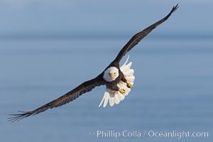 Bald eagle in flight, wings raised, Kachemak Bay in the background, Haliaeetus leucocephalus, Haliaeetus leucocephalus washingtoniensis, Homer, Alaska