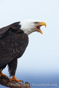 Bald eagle vocalizing, calling, with open beak while on wooden perch. Kachemak Bay, Homer, Alaska, USA, Haliaeetus leucocephalus, Haliaeetus leucocephalus washingtoniensis, natural history stock photograph, photo id 22627